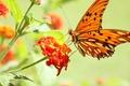 Картинка бабочка, макро, цветок, фото