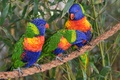 Картинка троица, попугаи, птицы, лорикеты, трио, Многоцветный лорикет, канат