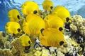 Картинка Рыбы бабочки, море, океан, дайвинг, кораллы, рыбки