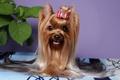 Картинка собака, животные, Йоркширский терьер, фото, взгляд