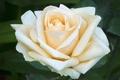 Картинка нежность, макро, лепестки, роза