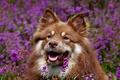 Картинка морда, цветы, собака, Финский лаппхунд