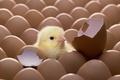 Картинка Птенец, цыплёнок, яйцо, скорлупа