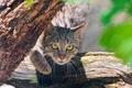 Картинка взгляд, морда, дикая кошка, Wild cat
