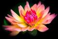 Картинка цветок, черный фон, георгин, желто-розовый