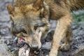 Картинка взгляд, ©Tambako The Jaguar, волк, морда