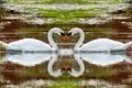 Картинка животные, озеро, вода, отражение, лебеди, река