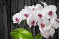 Картинка цветы, white, flower, orchid
