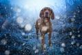 Картинка венгерская выжла, трава, голубое, поле, боке, порода, синее, обработка, иней, зима, снегопад, снег, взгляд, собака