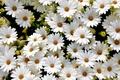 Картинка белый, лепестки, поле, маргаритки