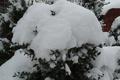 Картинка станица, ель, снег, зима
