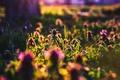 Картинка зелень, лето, трава, Медуница, контровый свет, закат