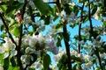 Картинка весна, яблоня, цветение, trees, Spring, bloom, Flowering