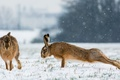 Картинка отжимания, снег, зарядка, зайцы, зима