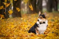 Картинка осень, листья, галстук, корги