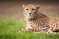 Картинка кошка, трава, гепард