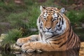 Картинка взгляд, тигр, хищник, вода, Амурский тигр, дикая кошка
