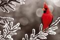 Картинка зима, снег, красный, птица, елка, ель, bird, winter, snow, кардинал