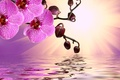 Картинка цветы, sunshine, орхидея, pink, water, flowers, beautiful, orchid, reflection