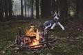 Картинка собака, хаски, лес, костер, огонь