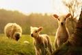 Картинка дерево, детеныши, овца, ягнята