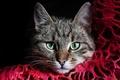 Картинка кошка, серый, полосатый, красная, морда, зеленые, глаза, ткань, кот