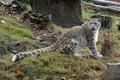 Картинка кошка, трава, ирбис, снежный барс