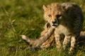 Картинка хищник, гепард, дикая кошка, детёныш