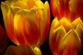 Картинка природа, весна, лепестки, тюльпан, цветы