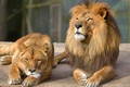 Картинка кошка, взгляд, пара, отдых, львица, лев
