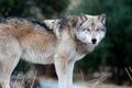 Картинка взгляд, волк, стоит, хищник