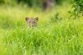 Картинка трава, леопард, Африка, зелёный сезон