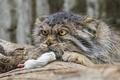 Картинка мышь, взгляд, кошка, ©Tambako The Jaguar, манул