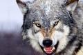 Картинка animals, Beautiful, wolf