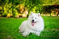 Картинка собака, самоед, трава, белая, язык