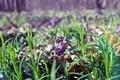 Картинка лес, фиолетовый, трава, день, боке, сухие листья, пролесок
