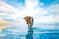 Картинка Dog, sky, water, clouds, lake, animal, reflections, ears, nose, muzzle