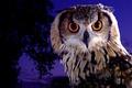 Картинка глаза, птица, ночь, сумерки, фиолетовый, филин, сова, красота, взгляд