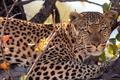 Картинка леопард, взгляд, хищник, дерево, пятна