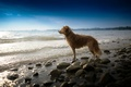 Картинка собака, взгляд, море