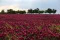 Картинка цветы, flowers, поле, природа, Field, purple, nature