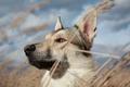 Картинка Собака, лайка, голова, морда, ковыль, колоски
