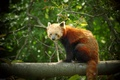 Картинка Firefox, панда, рыжая
