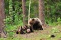 Картинка деревья, зелень, медведица, лес, медвежата