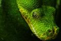 Картинка Змея, глаз, зелёный, чёрный
