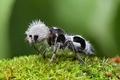 Картинка фото, бархатный муравей, муравей панда