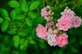 Картинка ветка, шиповник, бутончики, листья, роза