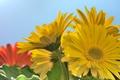 Картинка макро, жёлтые, герберы